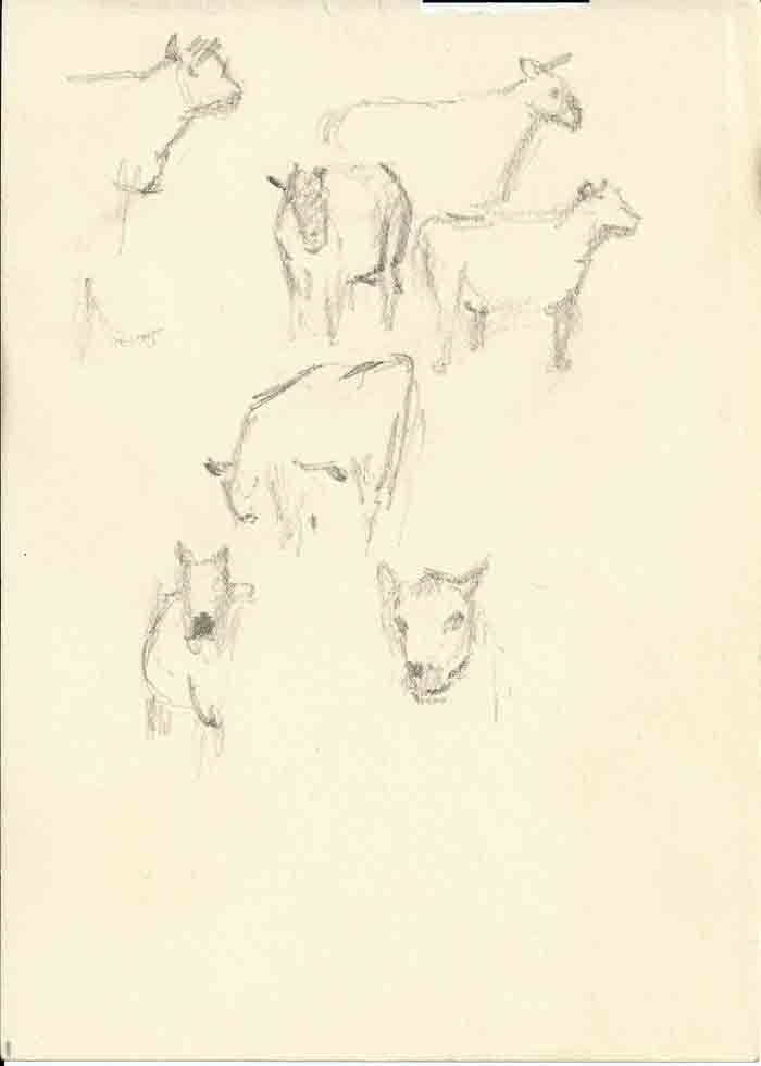 Sketches, sheep